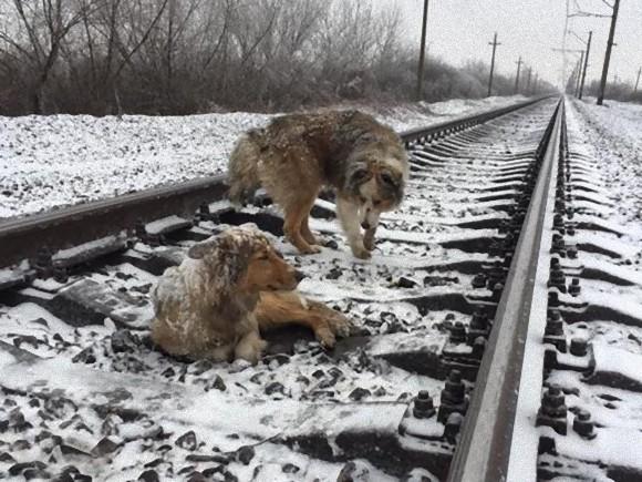 仲間は見捨てない。怪我をして線路の上から動けない犬のそばで自らを危険にさらしながらも2日間守り抜いた犬。