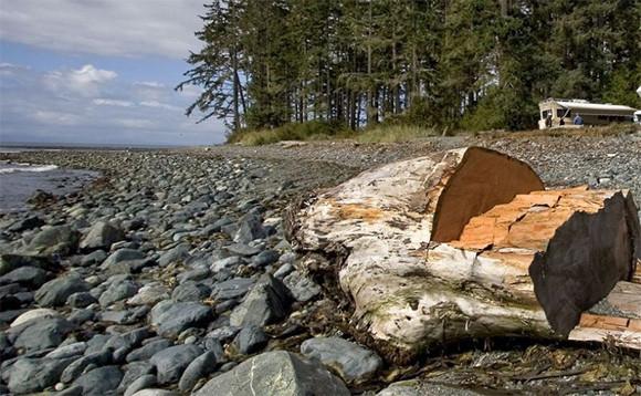 靴を履いた人間の足が次々に流れ着く未解決ミステリー。カナダ側のセイリッシュ海で13本目の足が発見される