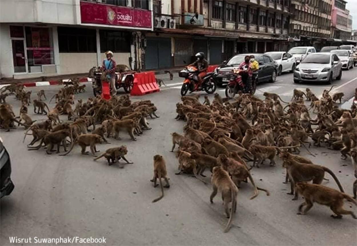 2つの猿の軍団による抗争により道路が占拠され、交通が止まるという事態に発展(タイ)