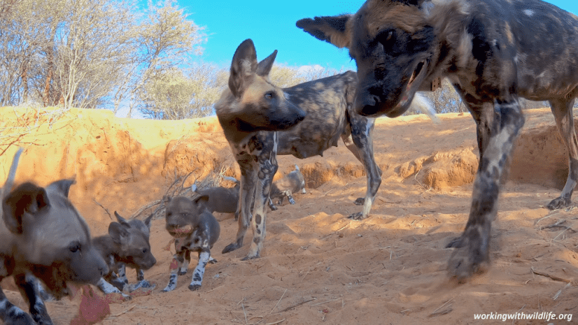 African-painted-dogs