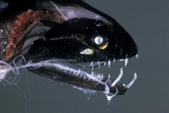 Black-Dragonfish-2_e