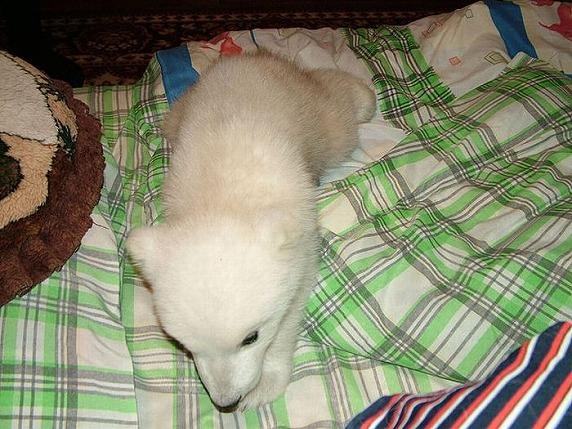 polarbearbabysaved-23