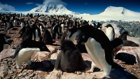 その数なんと150万羽。南極・デンジャー諸島でペンギンの巨大コロニーが発見される。