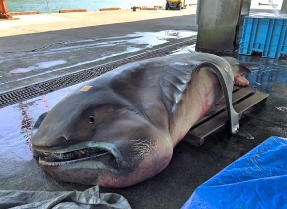 幻の巨大サメ、全長5メートルの「メガマウス」が水揚げされる(三重県)