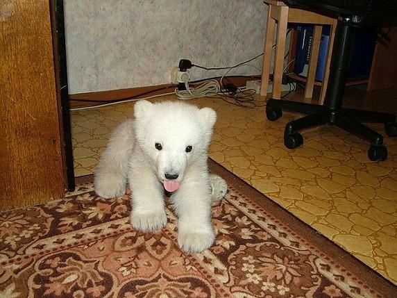polarbearbabysaved-33