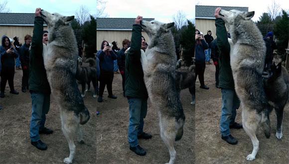 でかかわいい!オオカミと犬のハイブリッド、「ウルフドッグ」が二足立ちすると想像以上に巨大だった。