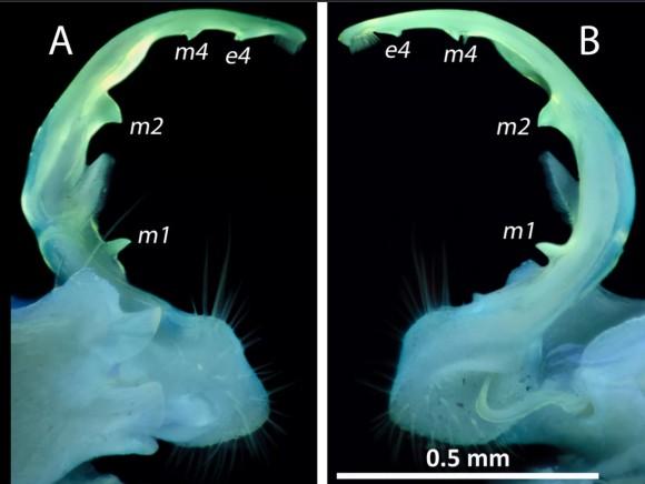 オスのヤスデの生殖器は光る。紫外線に照らされると蛍光色を放つため種の判別に役立つ(米研究)