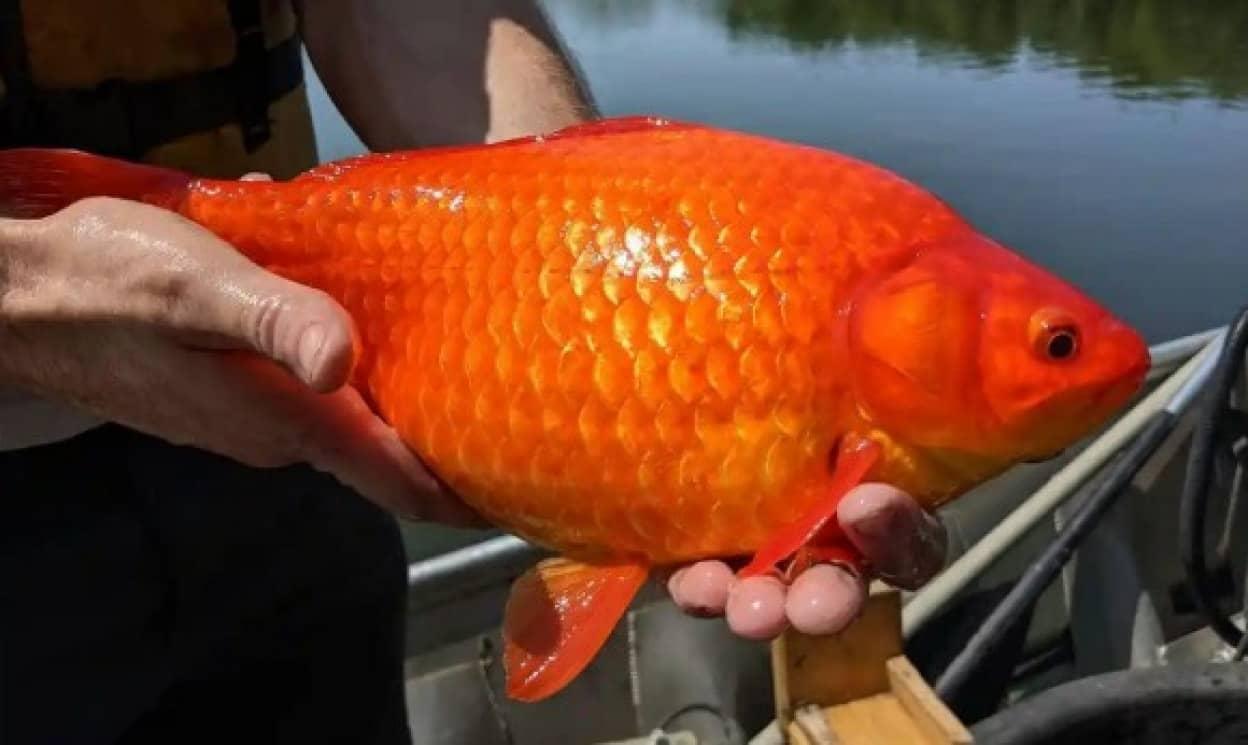 飼いきれず川や湖に捨てた金魚が巨大化し生態系を脅かす事態に