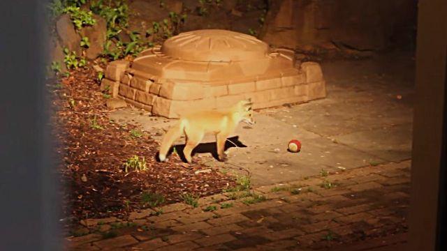 ボール遊び楽しいね!犬が庭に忘れたオモチャでこっそり遊ぶ子ギツネたち