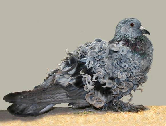 フリルバック種の鳩