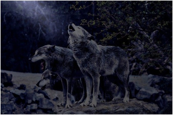 wolf-4708384_640_e