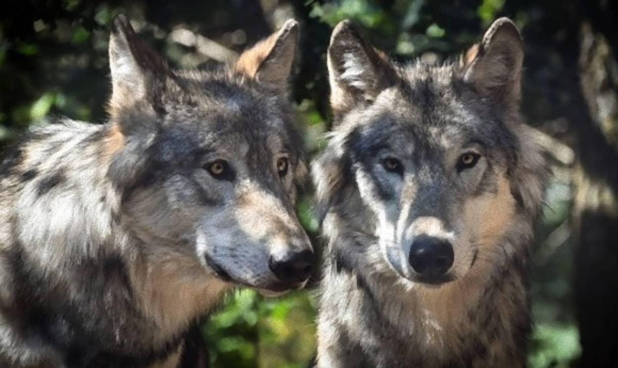 wolf-2984865_640_e_e