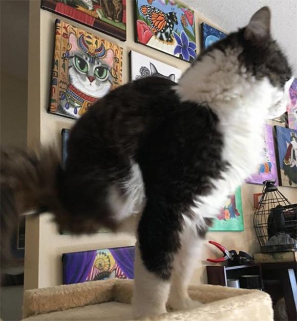 動物は今ある自分を受け入れる。生まれつき2本脚の猫、アナキンは今日も元気一杯なのだ(アメリカ)