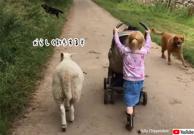 羊の犬化。母親から育児放棄された羊、飼い犬と一緒に育てたところ自分を犬だと思い込むように