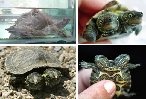 Two-Headed-Turtles