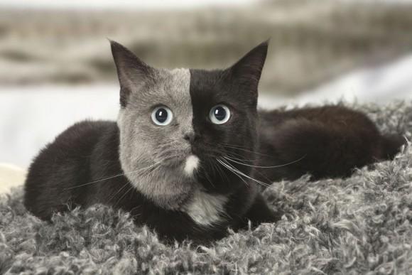 真ん中でくっきりわかれた二色顔。黒とグレーのスタイリッシュな配色で人気急上昇中の猫、ナルシアさんにズームイン!(フランス)
