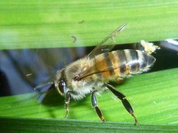 アフリカミツバチ