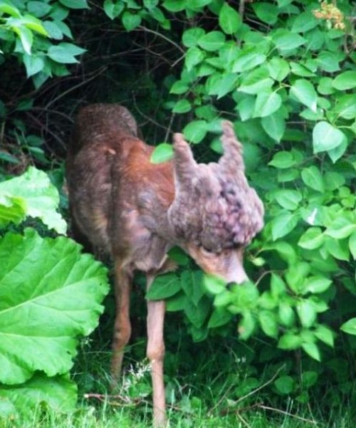 deformed-deer-found-e1340455705990