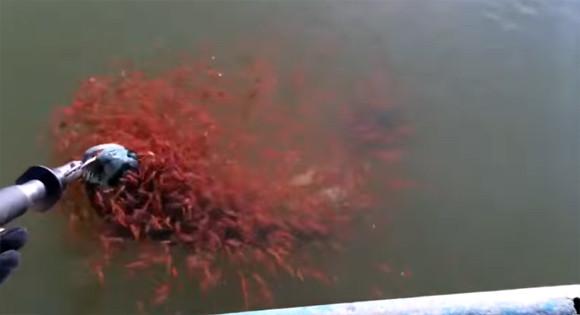 ママを連れていかないで!釣られそうになるライギョに必死にすがりつく大量の真っ赤な子どもたち