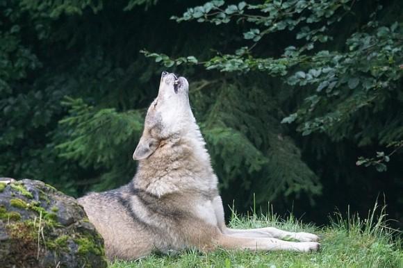 wolf-1514769_640_e