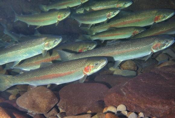 海の魚がわずか120年で淡水に適応する遺伝的超進化を遂げた(米研究)
