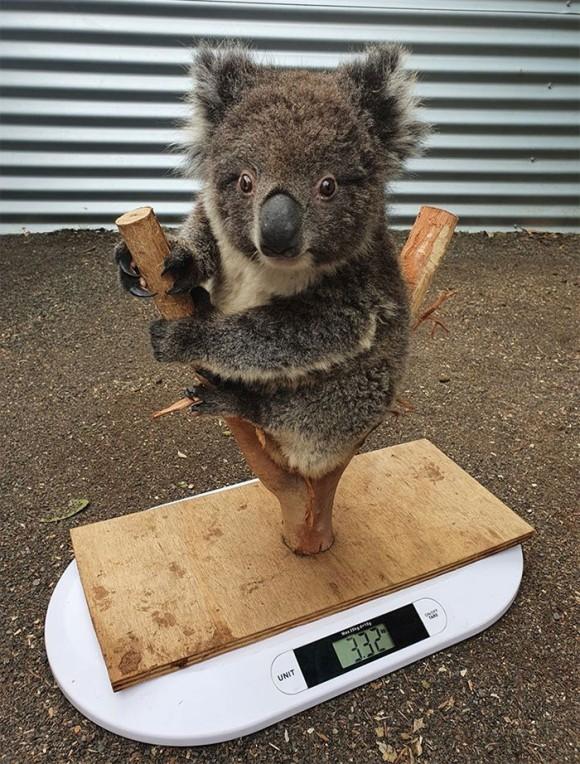 コアラの体重測定
