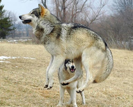 wolf_15