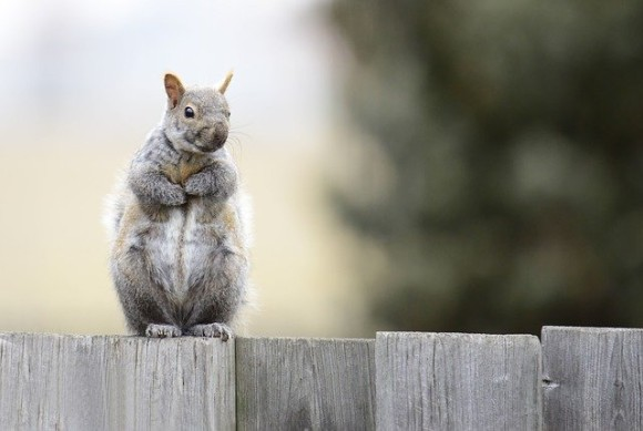gray-squirrel-4612799_640_e