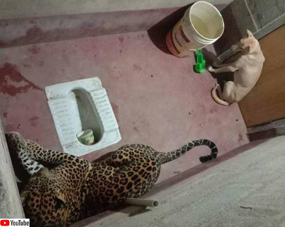 ヒョウに追いかけられトイレに逃げ込んだ犬、無事救助