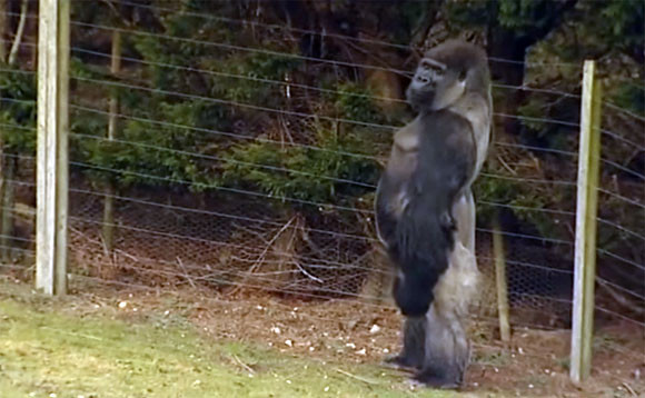 背筋ピーン!人間みたいな二足歩行をするゴリラのアンバム氏の立ち立ち居振る舞いに胸キュンしてみた