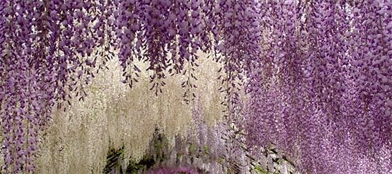 世界が息をのんだ美しさ。足利フラワーパークの「藤の花ガーデン」がジャパニーズ風流!と世界で話題に