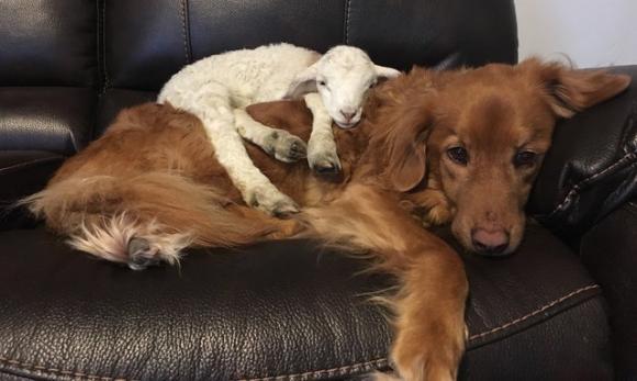 母親に見捨てられた子ヤギを愛した犬。その犬の心の傷を癒したのは別の子ヤギだった(カナダ)
