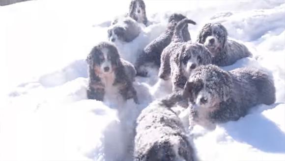 匍匐前進とかまかせろ!子犬でも行軍余裕なバーニーズ・マウンテン・ドッグの雪道行脚
