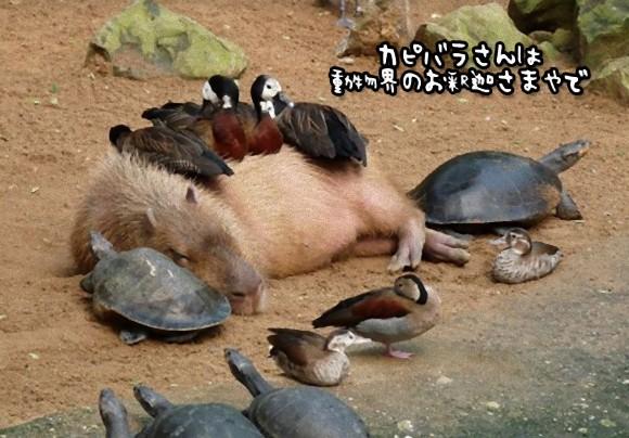 カピバラの包容力は天井知らず。動物界のお釈迦さま的存在のカピバラに集まる動物たち