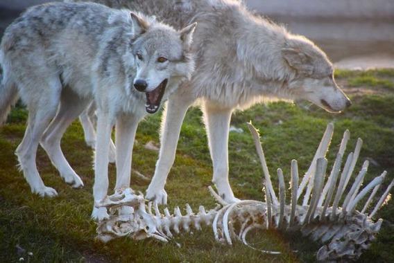 骨と狼の画像