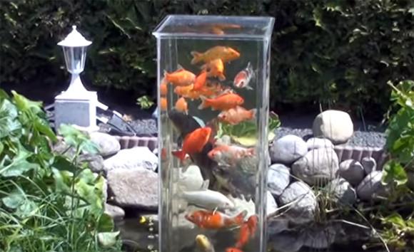 これぞまさしく「鯉のぼり」。池に水槽を設置した鯉の塔に集まる鯉
