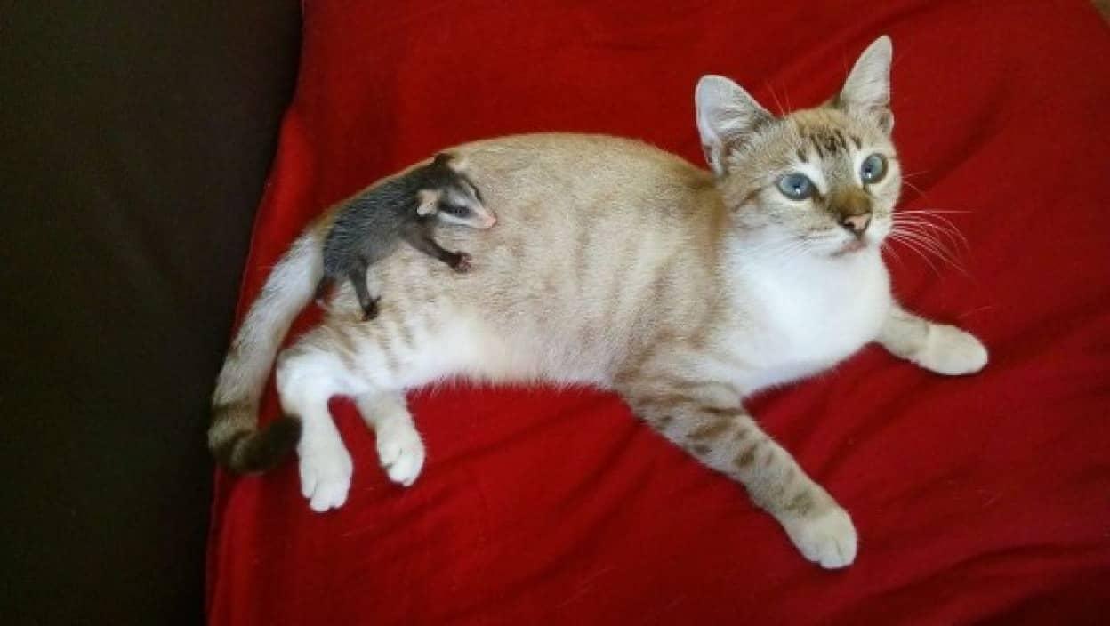 猫がオポッサムの赤ちゃんをおんぶして連れ帰る