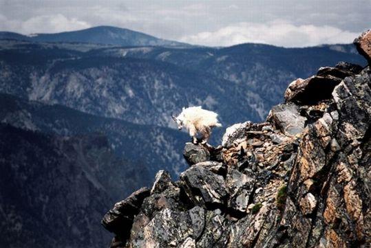 crazy_goats_09