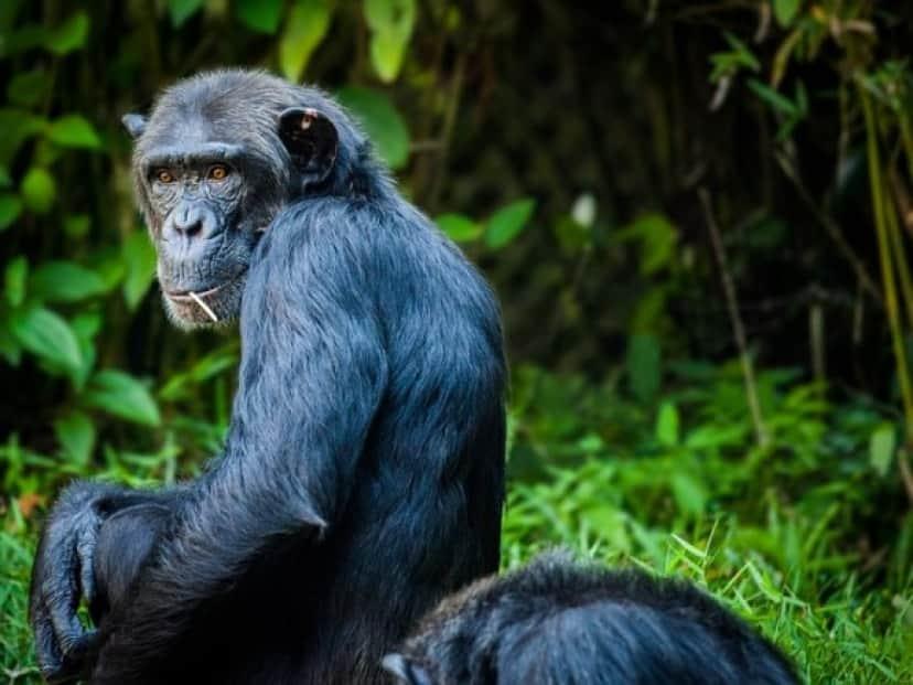 chimpanzee-1545010_640_e