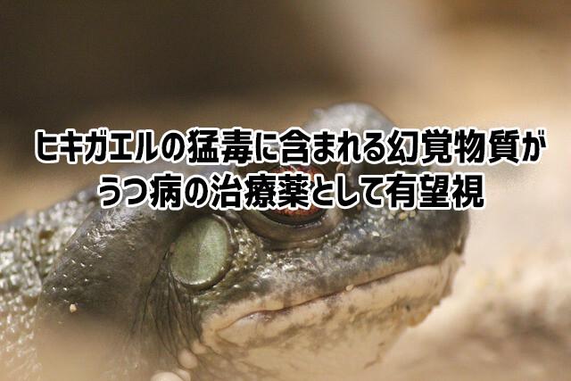 ヒキガエルが分泌するハッピーになれる幻覚成分が、うつ病の治療薬として有望視されている件