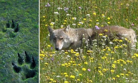 wolf_37