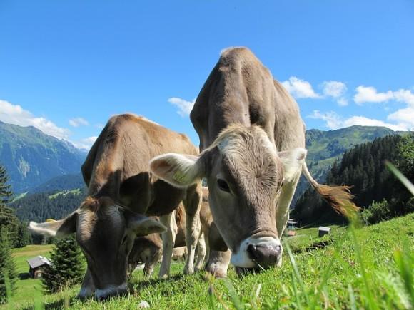 cows-203460_640_e