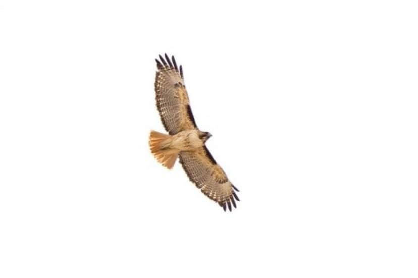 red-tailed-hawk-964213_640_e