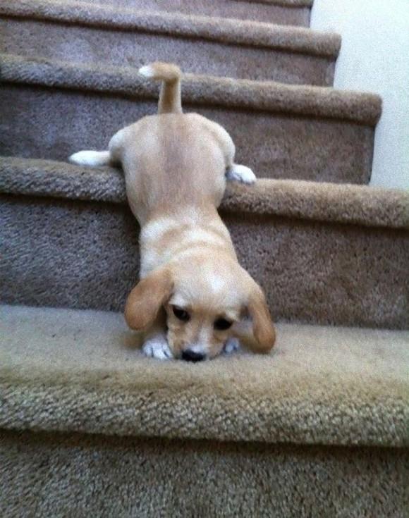 階段から落ちるかわいい子犬
