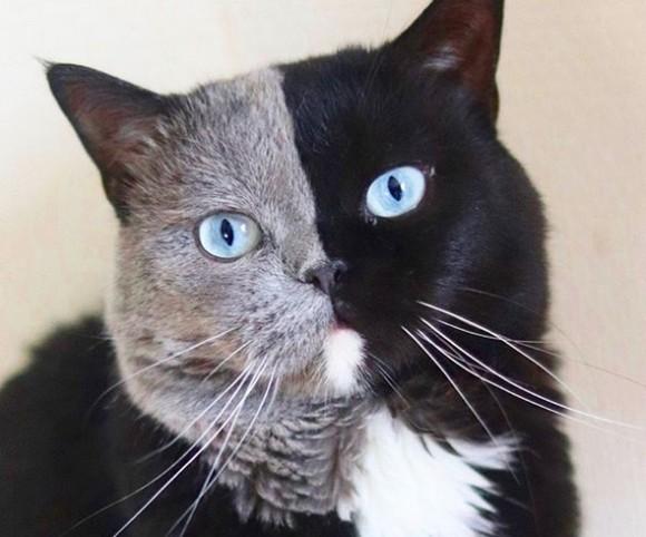 ピッタリ真ん中から色が違うキメラテイストの猫。子猫はパパの良いとこ取り(イギリス)