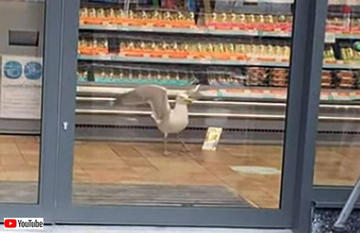 カモメがスーパーからサンドイッチを盗み出す驚きの手口とは