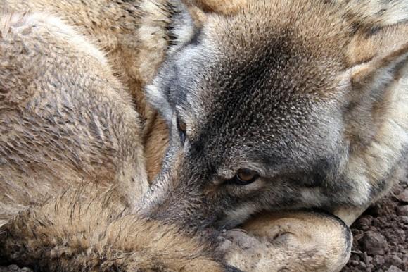 wolf-1352243_640_e_e