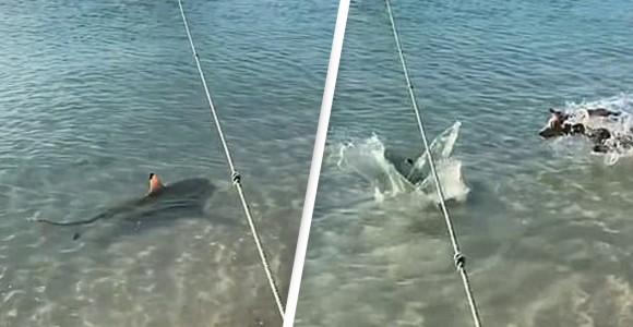 飼い主が危ない!海に飛び込み近づいてきたサメを必死に追い払おうとする勇敢な犬(オーストラリア)