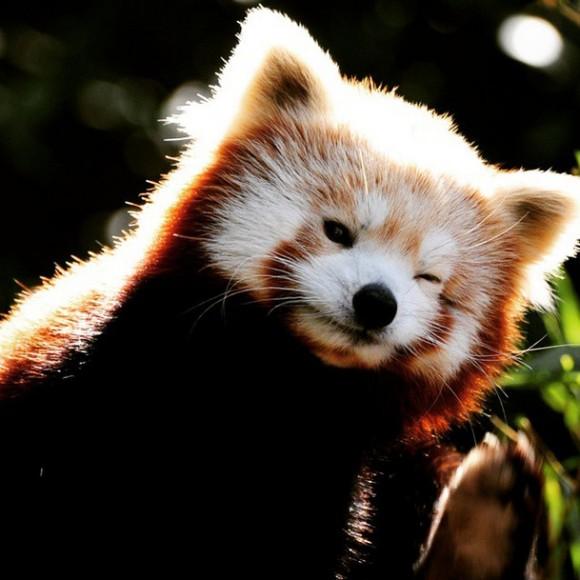 こんなにかわいいレッサーパンダ。海外ではペットとして飼われているところもあるが、絶滅が危惧されており「ワシントン条約」で国際取引が取り締まられているため日本
