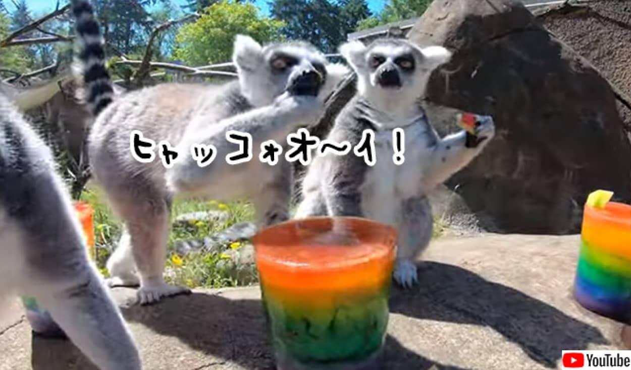 キツネザルたちのアイスキャンディーパーティー開催中